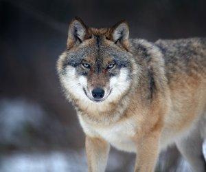 Canis_lupus_2_(Martin_Mecnarowski)